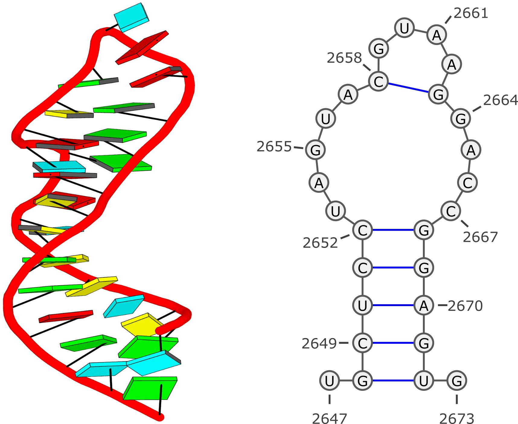 1msy [GUAA tetra loop] in 3d and 2d representations